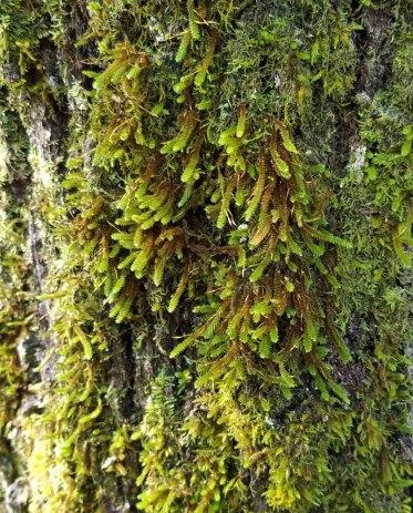 Fan Moss (Forsstroemia trichomitria)
