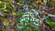 Hodge Podge With Pixie Cups (Cladonia sp.)