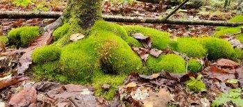 Island of Windswept Moss (Dicranum sp.)