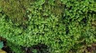 Leafy Liverwort (Scapania sp.)