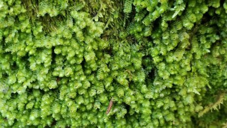 Leafy Liverwort (Scapania sp.)