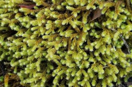Medusa Moss (Hedwigia sp.)