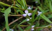 Marsh Dewflower (Murdannia keisak*)