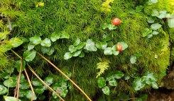 Partridge Berry (Mitchella repens) & a Windswept Moss (Dicranum sp.)