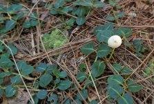Partridge Berry (Mitchella repens) An Odd White Berry