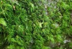 Possibly Boulder Broom Moss (Dicranum fulvum)