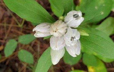 Probably Appalachian Gentian (Gentiana decora)