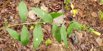 Entire-leaved False Foxglove (Aureolaria laevigata)