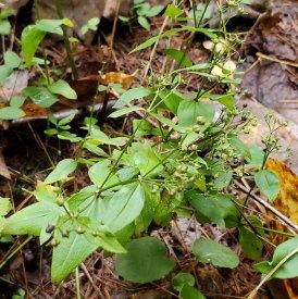 Purple or Wideleaf Bedstraw (Galium latifolium)