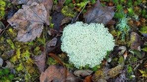 Reindeer Lichen (Cladonia rangiferina)