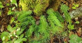 Rock Cap Fern (Polypodium appalachianum)
