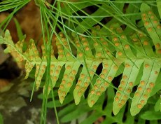 Rock Cap Fern (Polypodium appalachianum) Sori