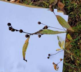 Seedbox; False Loosestrife (Ludwigia alternifolia)