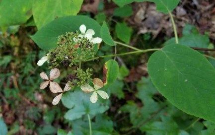 Silverleaf (Hydrangea radiata)