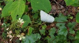 Silverleaf (Hydrangea radiata) Leaf Back