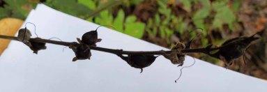 Smooth False-foxglove (Aureolaria flava) Fruit