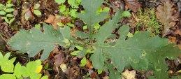 Smooth False-foxglove (Aureolaria flava) Leaves