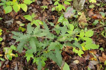 Smooth False-foxglove (Aureolaria flava) Plant