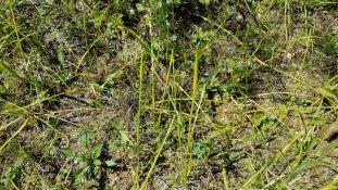 Southern Bog Clubmoss (Lycopodiella appressa) New Growth