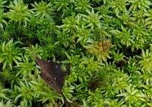 Sphagnum or Peat Moss (Sphagnum sp.)