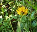 Swamp Tickseed (Coreopsis gladiata)
