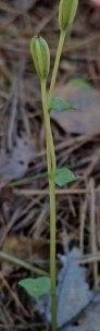Three Birds Orchid (Triphora trianthophoros)