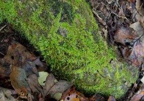 Train Tracks Moss (Thelia hirtella)