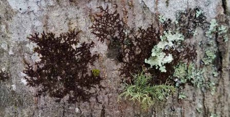Tree Liverwort (Frullania sp.) and Friends