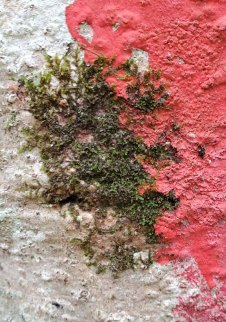 Tree Liverwort (Frullania sp.) on a Red Tree Blaze