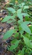 Virginia Bugleweed (Lycopus virginicus)