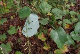 Whiteleaf Greenbrier (Smilax glauca) Backside