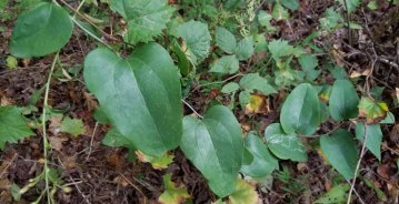 Whiteleaf Greenbrier (Smilax glauca)