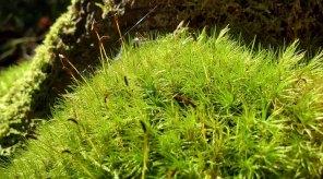 Windswept Moss (Dicranum sp.) Sporophytes