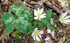 Toadshade; Little Sweet Betsy (Trillium cuneatum) & Bloodroot (Sanguinaria canadensis) Combo