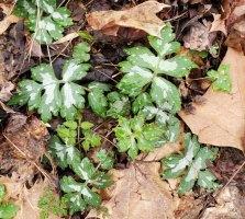 Broad-leaved Waterleaf (Hydrophyllum canadense)