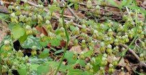 Early Meadow Rue (Thalictrum dioicum) Male plant