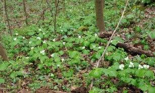 Bunch of Trillium erectum or Trillium simile