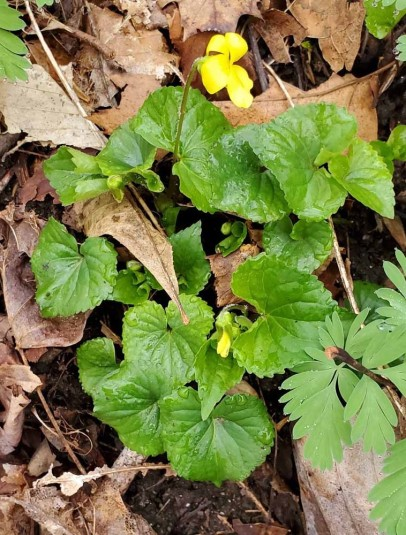 Downy Yellow Violet (Viola pubescens)