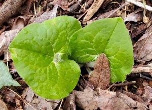 Wild Ginger (Asarum canadense)