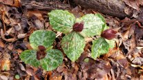 A Trio of Toadshade; Little Sweet Betsy (Trillium cuneatum)