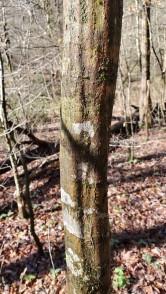 Ironwood; Hornbeam (Carpinus caroliniana)