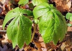 May Apple; Mandrake (Podophyllum peltatum)