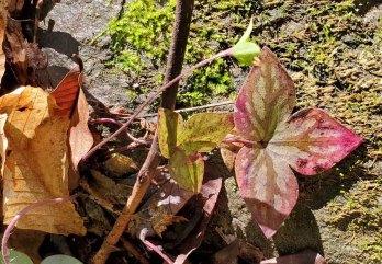 Sharp-lobed Hepatica (Anemone acutiloba) Fruit