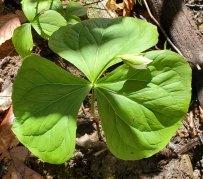 A White Pedicillate Trillium in Bud. Will it become T. erectum or T. sessile?