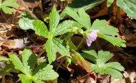 The First Wild Geranium (Geranium maculatum)