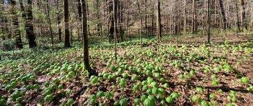 Acres of May Apple; Mandrake (Podophyllum peltatum)