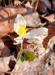 The Last Bloodroot Bloom (Sanguinaria canadensis)