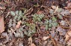 Possibly White Avens (Geum canadense) Basal Leaves
