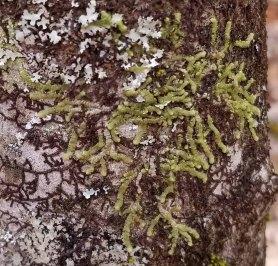 Cheilolejeunea unciloba (Cheilolejeunea Liverwort)