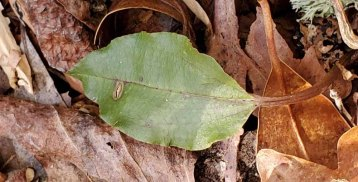 Cranefly Orchid (Tipularia discolor) Leaf